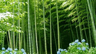 Bamboo ~ Nature's Machine to Draw Down Carbon