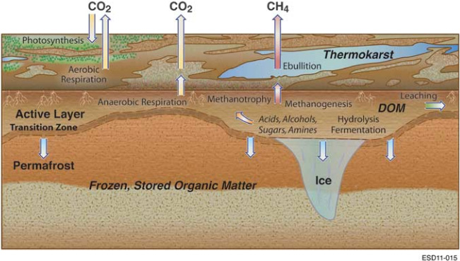 Fig. Key biological processes in the carbon cycle of permafrost environments. Permafrost thawing at the transition zone introduces previously unavailable organic matter into the expanded active layer of soil. Enzymatic hydrolysis decomposes complex organic matter into soluble substrates for microbial fermentation, producing a mixture of organic acids, alcohols and microbial biomass. Methanogenicarchaea convert acetate, methylated compounds or H2and CO2into CH4that can be released to the atmosphere through ebullition,diffusion or aerenchyma. Methanotrophs oxidize some of this CH4, converting it to CO2