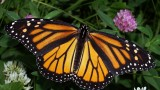 Elevated carbon dioxide conditions pose threat for the Monarch butterfly
